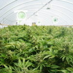 Top 6 Essential Cannabis Growing Tips